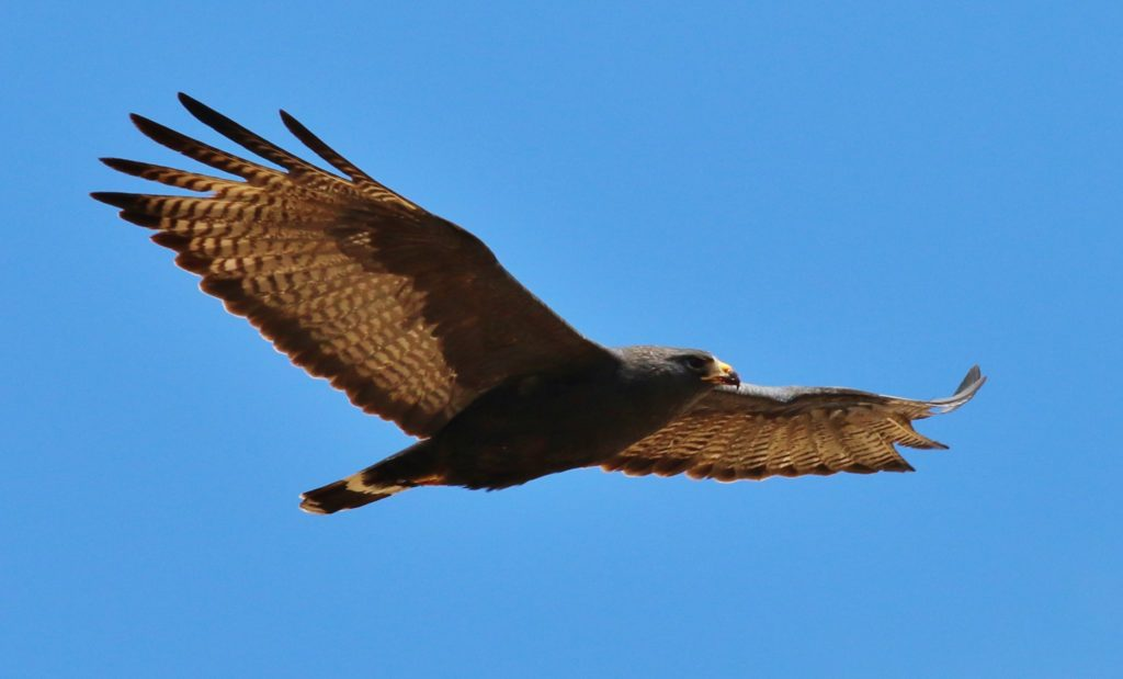 A soaring zone-tailed hawk. Credit: Tom Benson (Flickr) (CC BY-NC-ND 2.0)