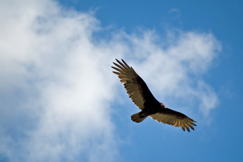 A soaring turkey vulture. Credit: Ken Bosma (Flickr) (CC BY 2.0)