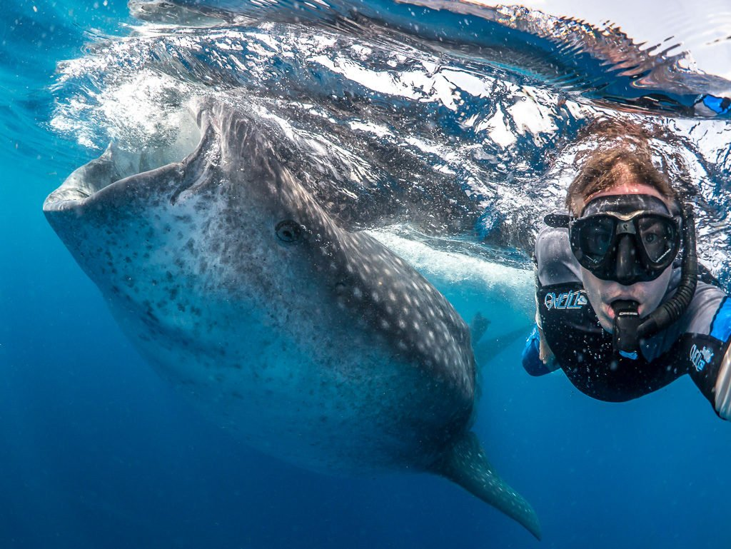 Whale shark and swimmer