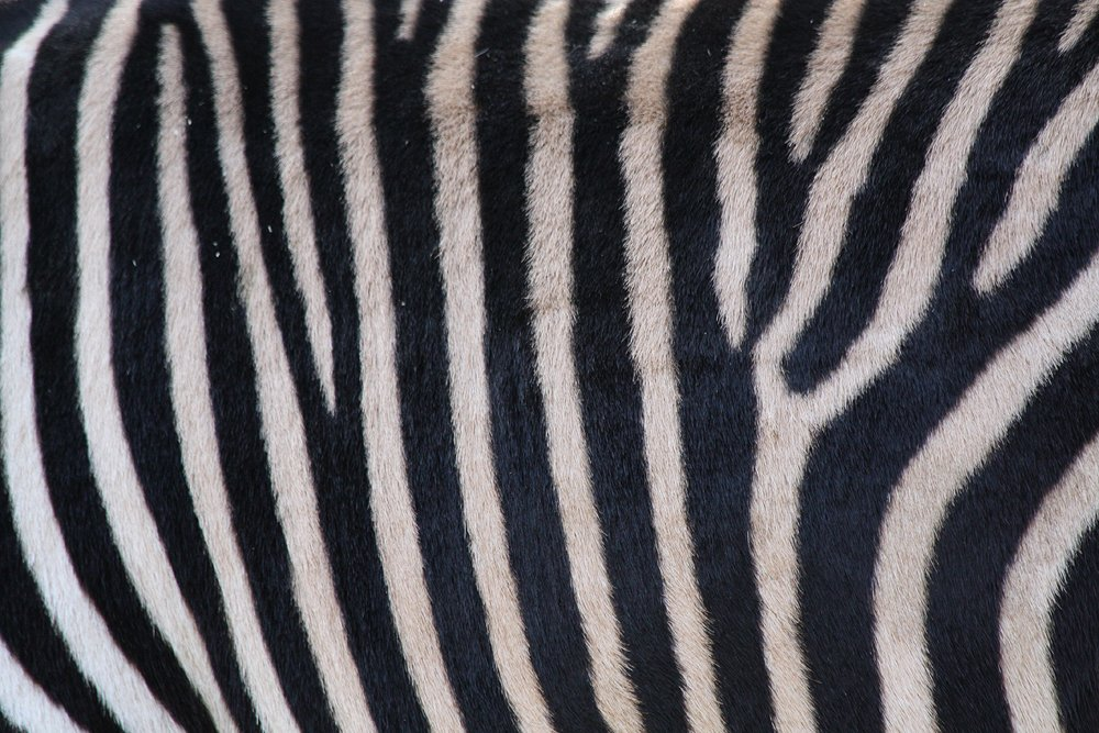 zebra stripes up close